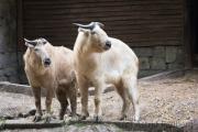Golden takin, Breslau Zoo (PL)