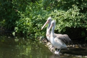 Great white pelican, Breslau Zoo (PL)