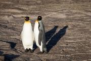 King penguin, Saunders