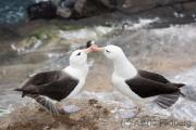 Black-browed albatross, Saunders