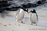 Gentoo penguin, Bleaker Island