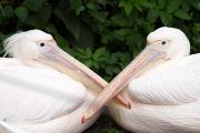 Great white pelican, Zoo Basel (CH)