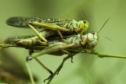 Short-horned grasshoppers, Basel Zoo