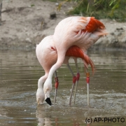 Phoenicopterus chilensis; Chilean flamingo, Beekse Bergen (NL)