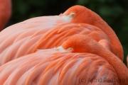 Flamingos, Osnabrück Zoo