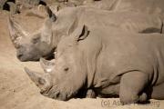 Rhinos, Emmen Zoo (NL)