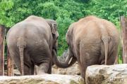 Asiatic elephant, Heidelberg Zoo