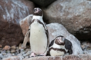 Humboldt penguin, Vogelpark Walsrode