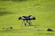 Black crowned crane, Wuppertal Zoo