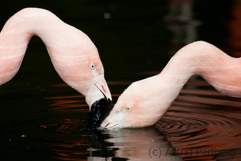 Flamingos, Wuppertal Zoo