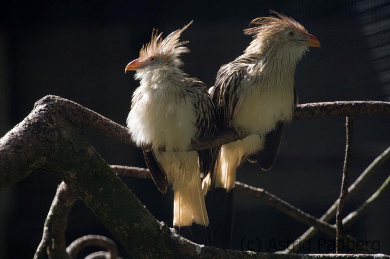 guira cuckoo, Wuppertal Zoo