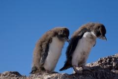 Southern rockhopper penguin, Isla Pinguino