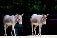 African wild ass; African wild donkey, Basel Zoo