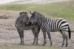 Grévy's zebra;Equus grevyi, Beekse Bergen (NL)