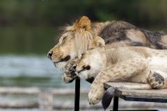 Panthera leo;lions, Beekse Bergen (NL)