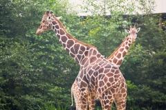 Giraffs, Duisburg Zoo