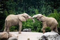 Elephants, Duisburg Zoo