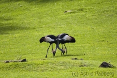 Black crowned crane, Wuppertal Zoo