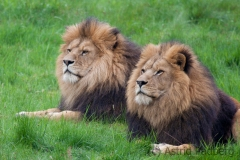 Lions, Wuppertal Zoo
