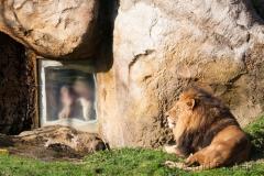 Zoologischer Garten, Löwen