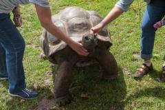 Aldabra Riesenschildkröte; Seychellen Riesenschildkröte; Geoch