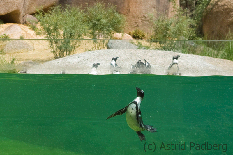 African penguin, Wuppertal Zoo
