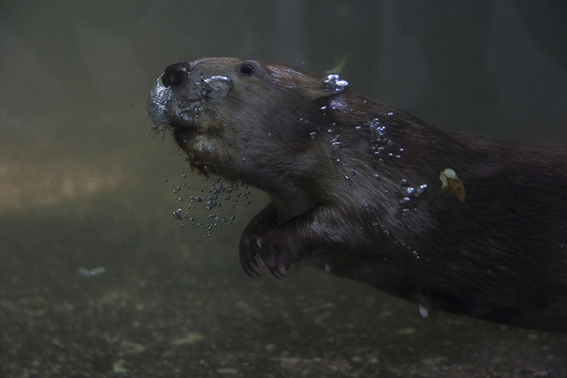 North American beaver, Wuppertal Zoo