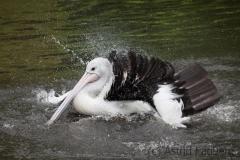 Australian pelican, Vogelpark Walsrode