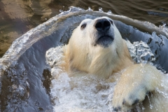 Polar bear, Wuppertal Zoo