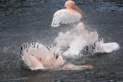Great white pelican, Wuppertal zoo