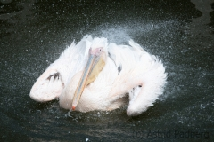 Great white pelican, Pairi Daisa (B)