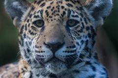 jaguar_3914_web