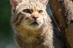 Wildkatze; wildcat; Felis silvestris
