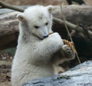 Polar bear, Wuppertal Zoo (Anori)