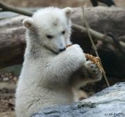 Polar bear, Wuppertal Zoo (Anori)