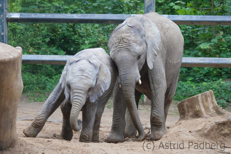 African bush elephant, Wuppertal Zoo