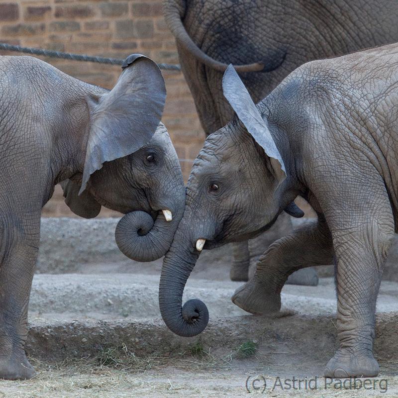 Elefanten, Uli + ScAfrican bush elephant, Wuppertal Zoohawu