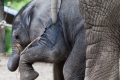 African bush elephant, Wuppertal Zoo, Pina-Nessie