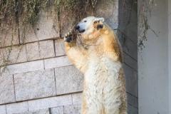Polar bear, Wuppertal Zoo