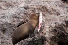 Seelöwe mit Fisch