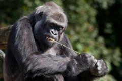 gorilla_3890_web