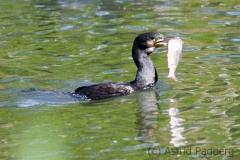 Kormoran; great cormorant; Phalacrocorax carbo