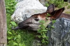 Okapi (Lumela)
