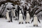 Jackass penguin, Wuppertal Zoo