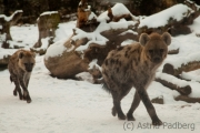 Spotted hyena, Leipzig Zoo