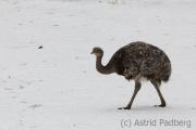 Greater rhea, Wuppertal zoo