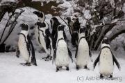 Jackass penguin, Wuppertal Zoo