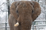 African elephant, Wuppertal Zoo