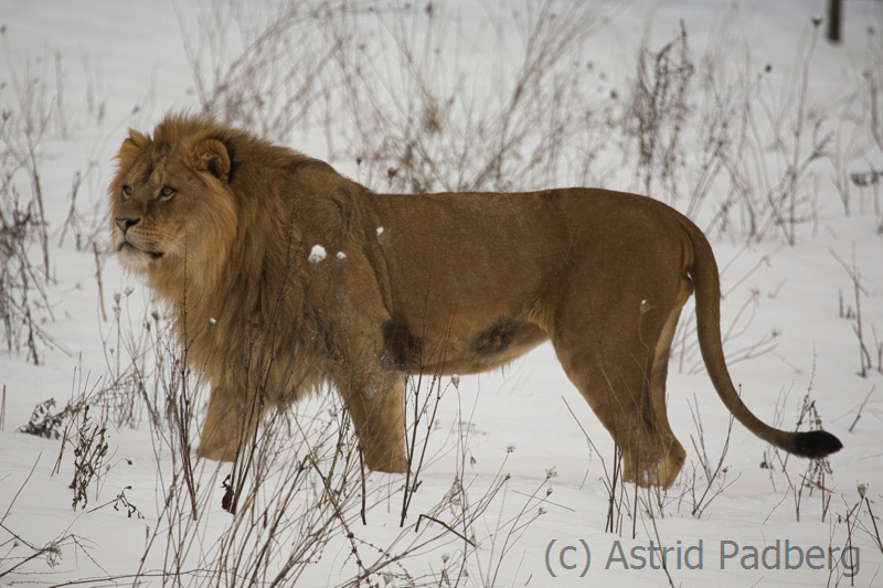 African lion, Wuppertal Zoo