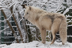 Arctic wolf, Wuppertal Zoo